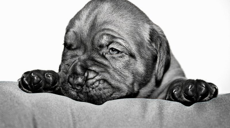 Hundefoder